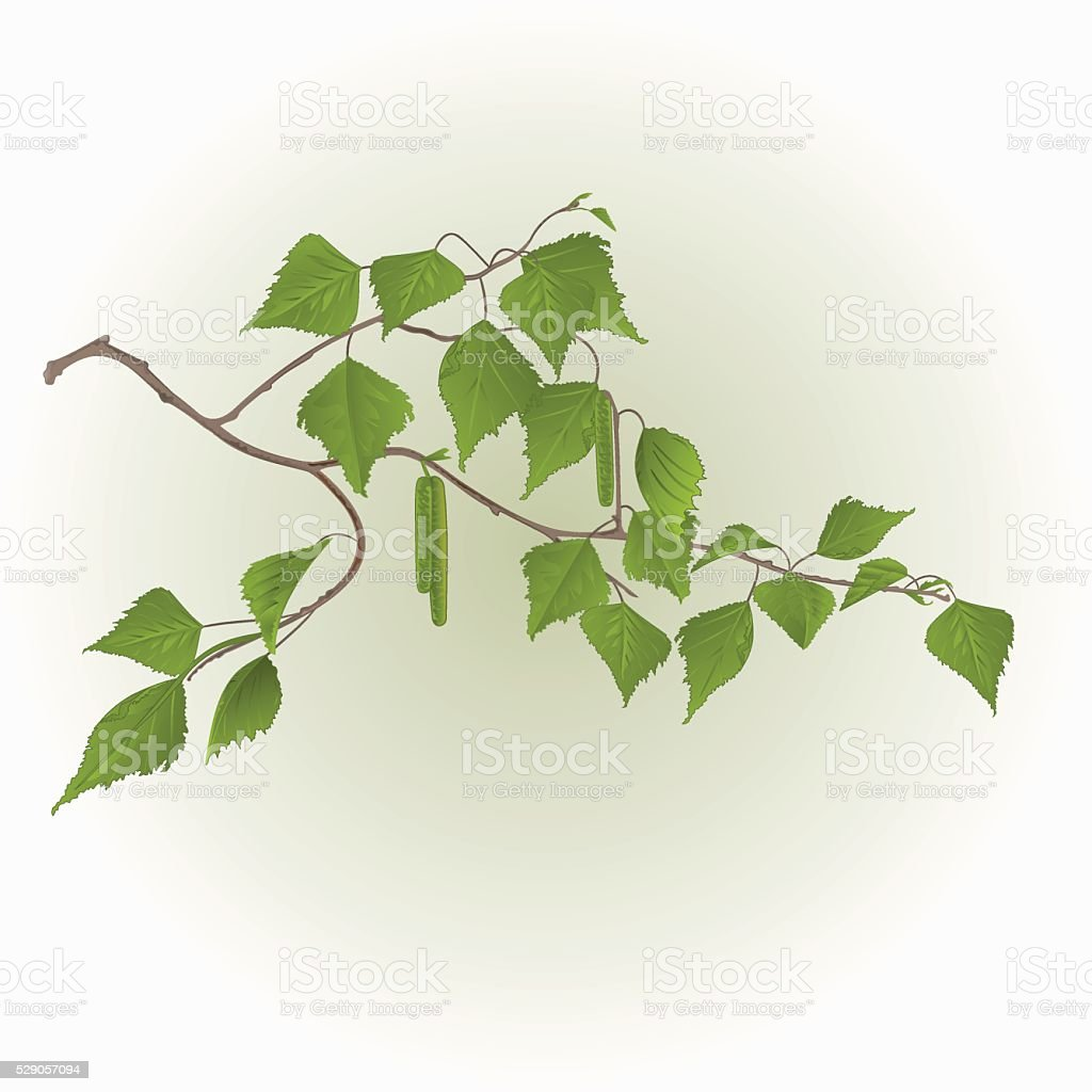 Birch twig with catkins vector vector art illustration