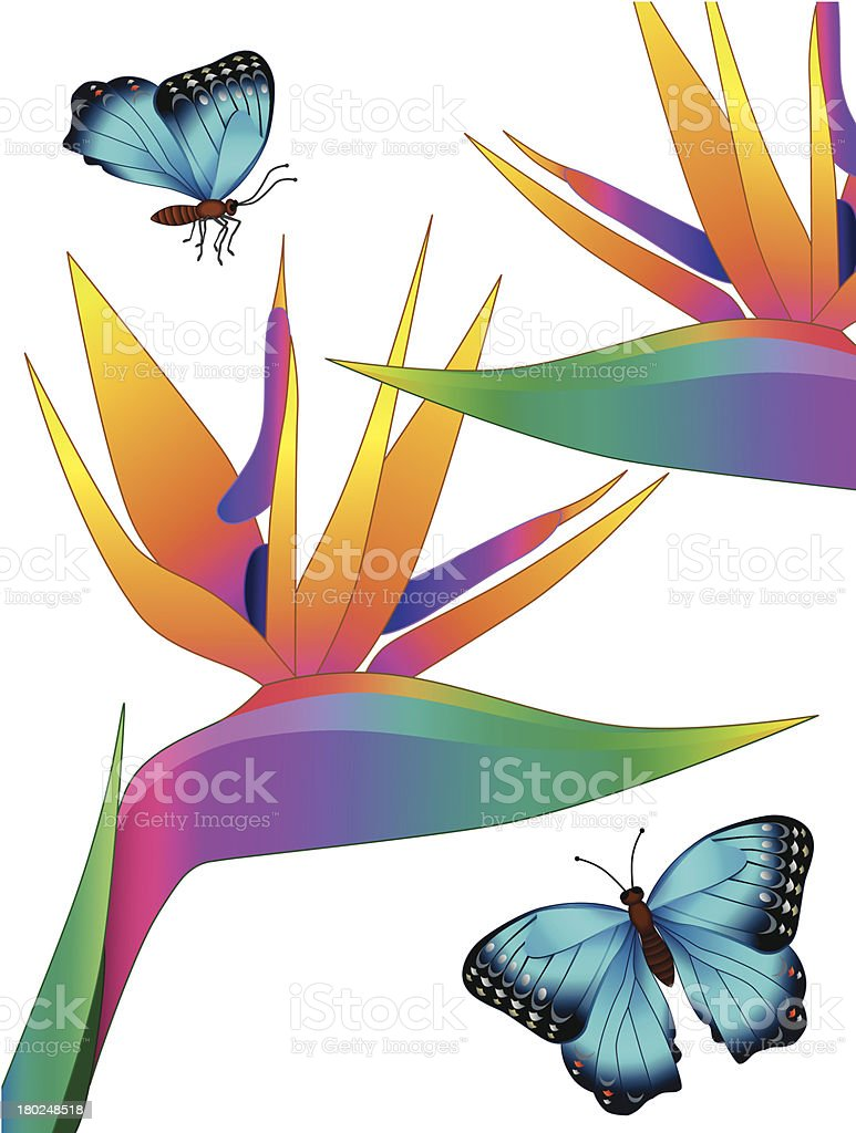 bird of paradise and morpho butterflies royalty-free stock vector art