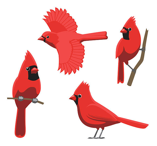 Cardinal Bird Clip Art, Vector Images & Illustrations - iStock
