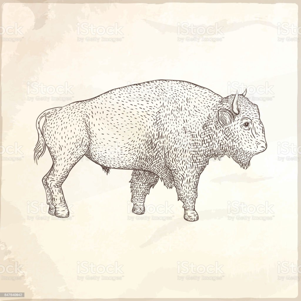 Bison hand drawn vector illustration. vector art illustration