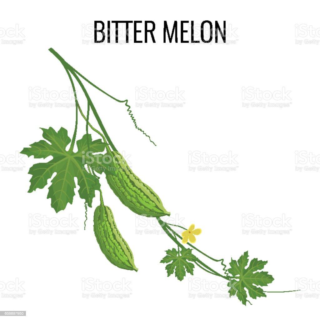 Bitter melon on white background isolated vector art illustration