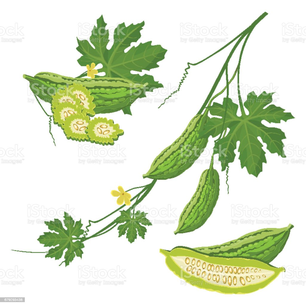 Bitter melon with green leaf and flower on brunch realistic vector vector art illustration