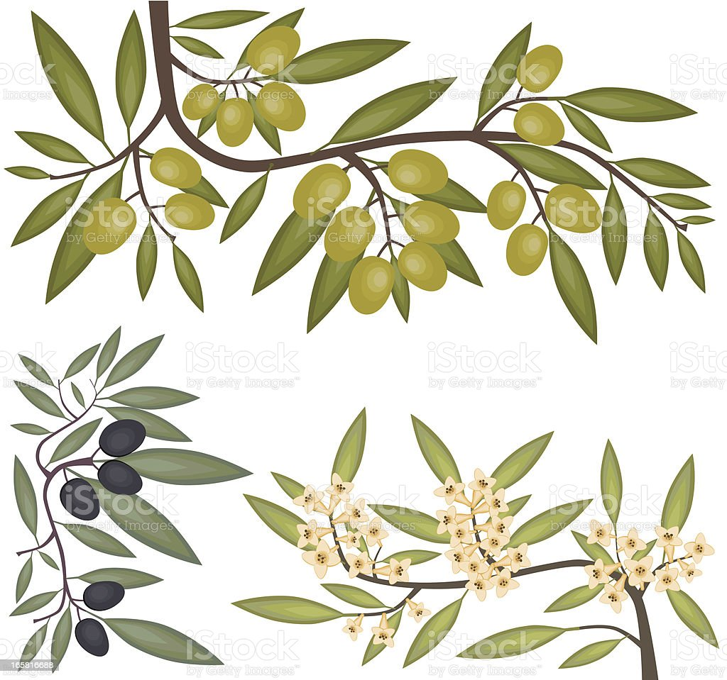 Black and Green Olives, Blooming Branch vector art illustration