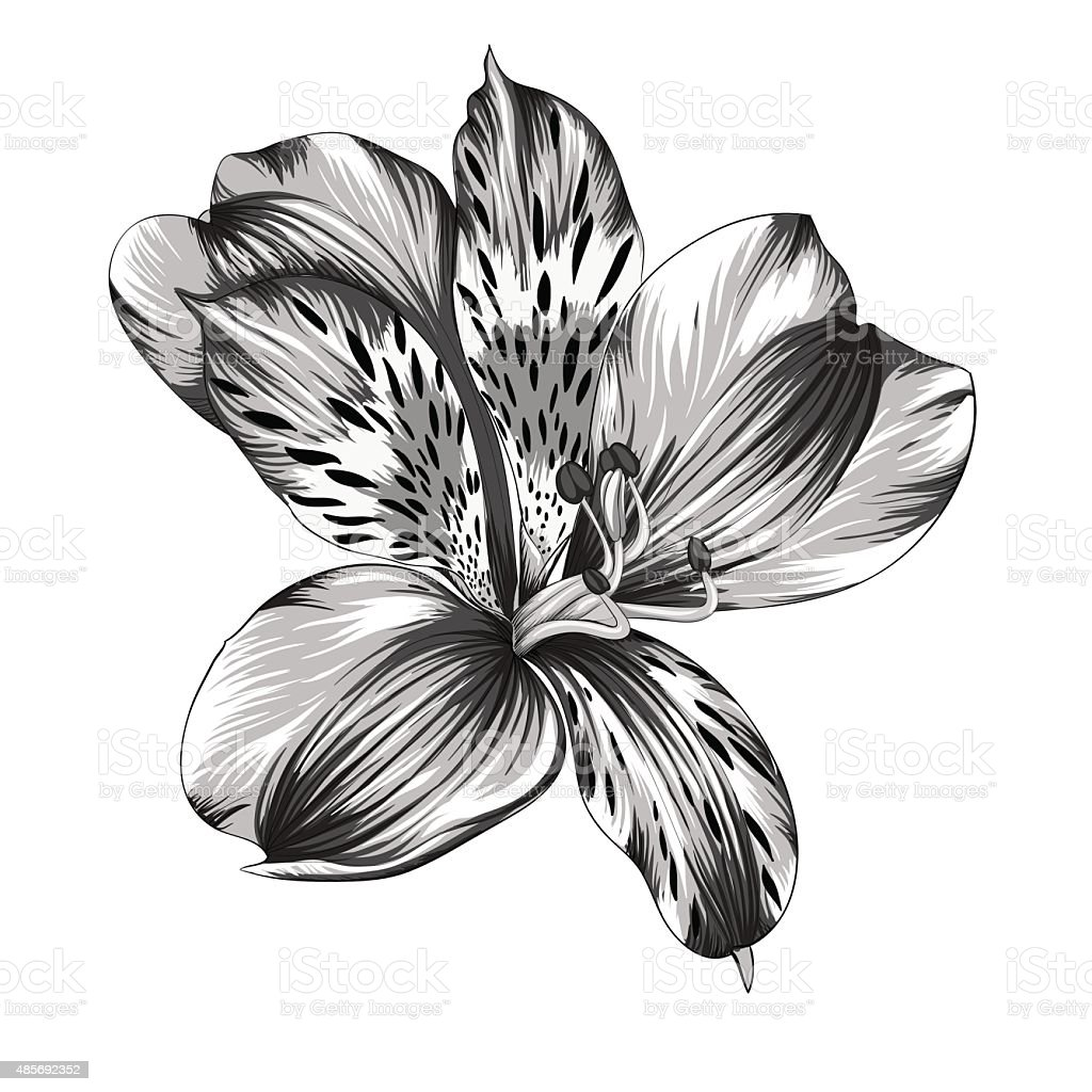 black and white Alstroemeria flower with watercolor effect isolated vector art illustration