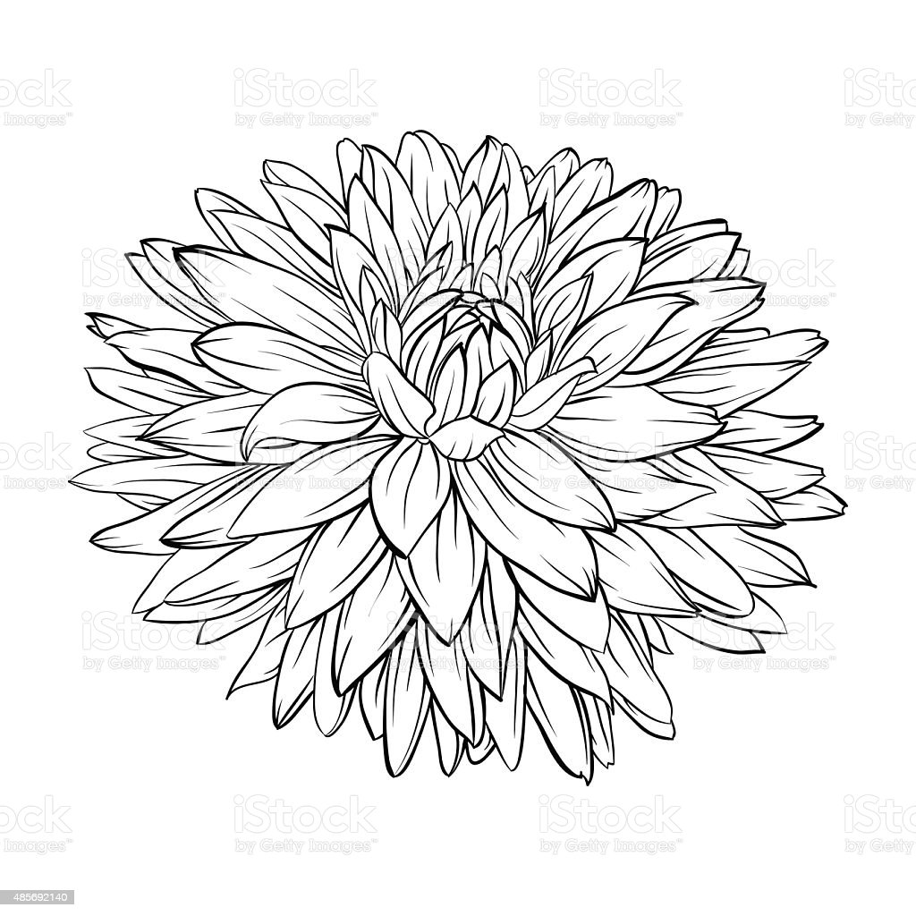 Contour Line Drawing App : Black and white dahlia flower isolated handdrawn contour