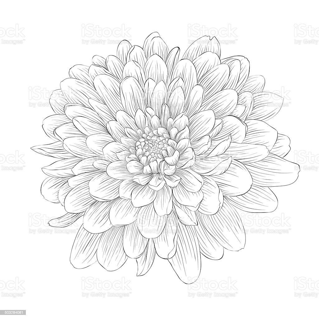 black and white dahlia flower isolated vector art illustration