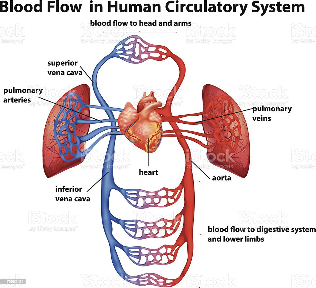 Blood flow in human circulatory system royalty-free stock vector art