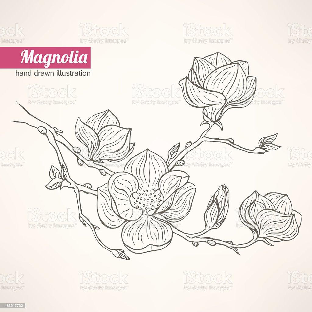blooming magnolia vector art illustration