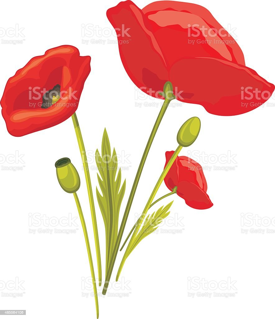Blooming red poppy isolated on the white vector art illustration