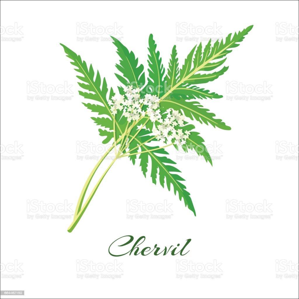 Blossoming chervil color vector illustration vector art illustration