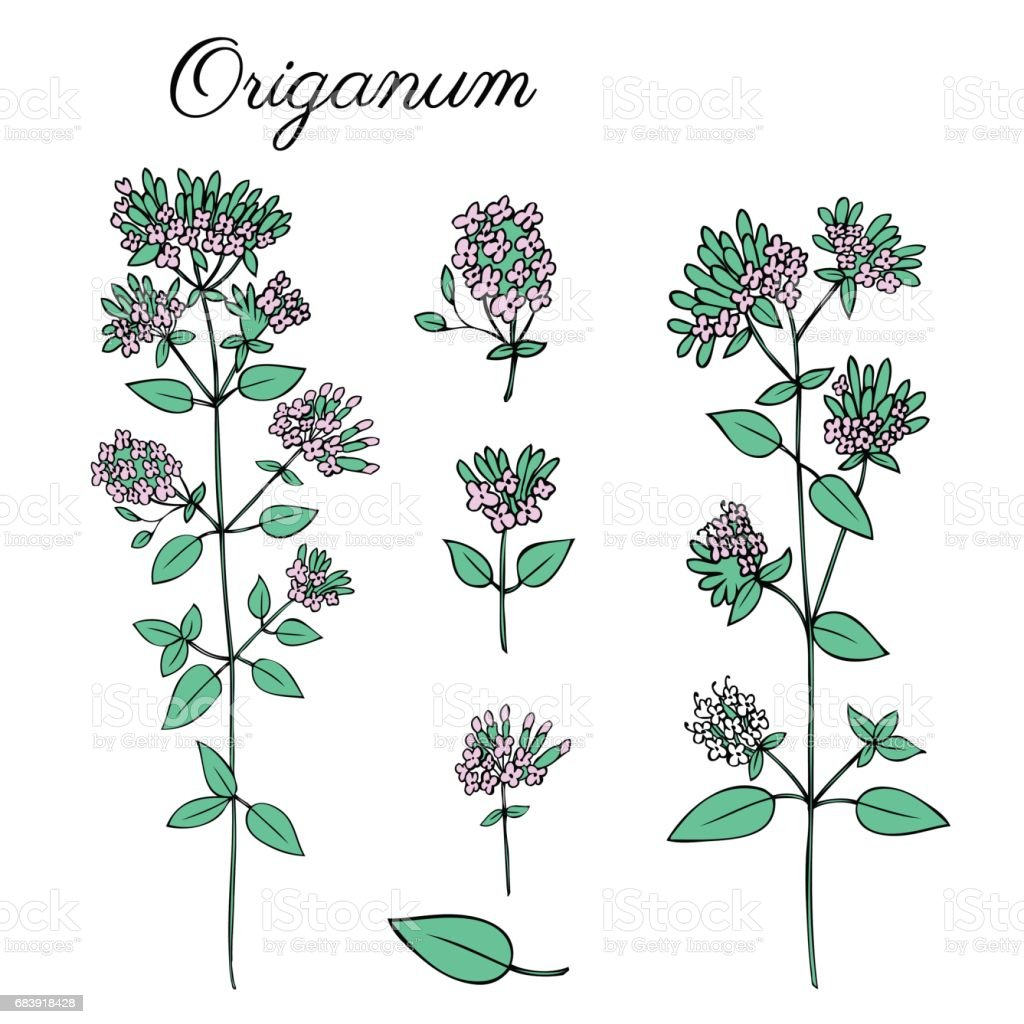 Blossoming Oregano Flowers Vector Colorful Doodle Sketch Hand