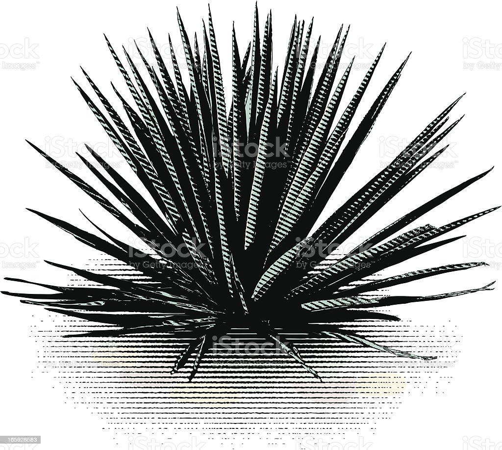 Blue Agave Isolated On White vector art illustration
