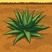 Blue Agave, the Tequila Plant