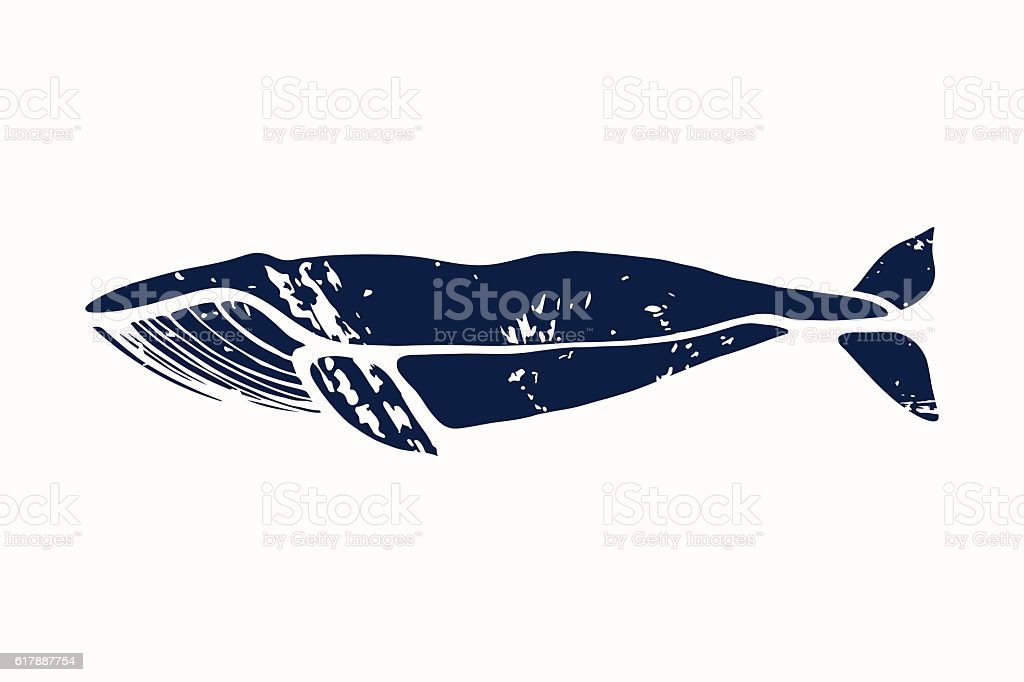 Blue whale. Balaenoptera musculus. vector art illustration