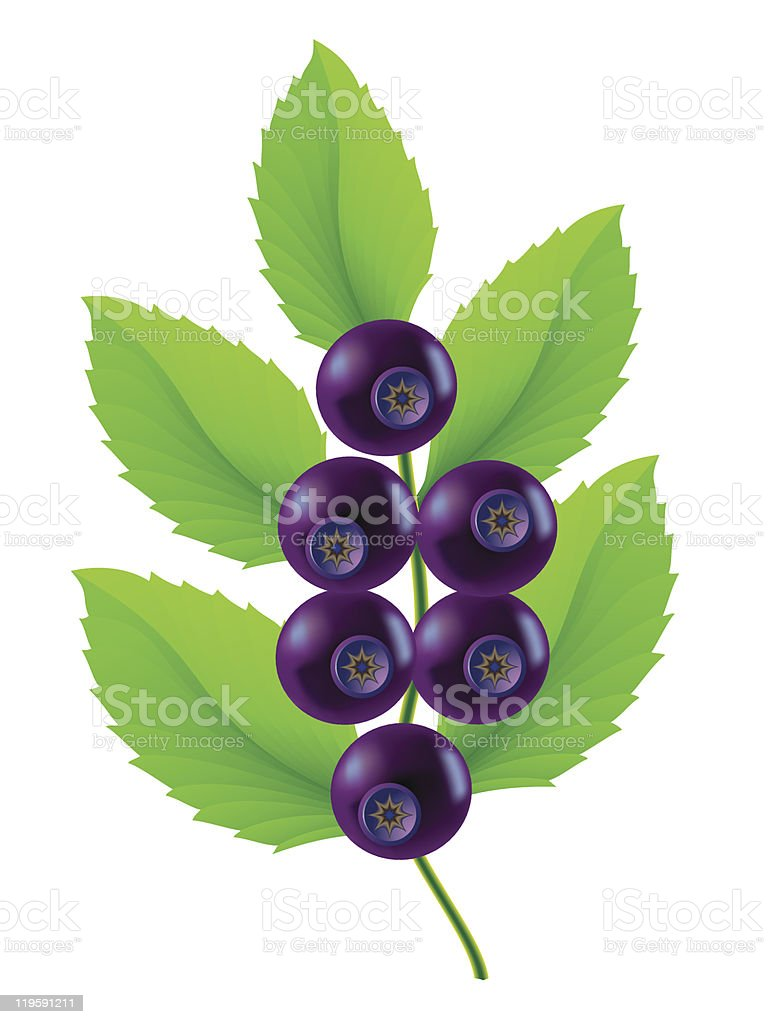 blueberries vector illustration royalty-free stock vector art