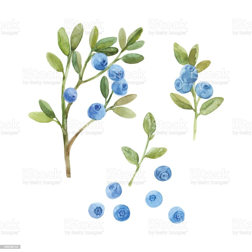 Blueberry. Hand drawn watercolor vector illustration, sketch. Elements for design. vector art illustration