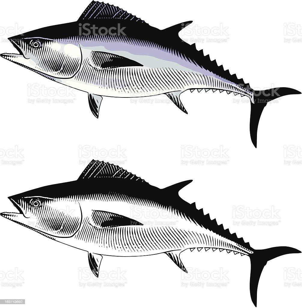 Bluefin Tuna royalty-free stock vector art