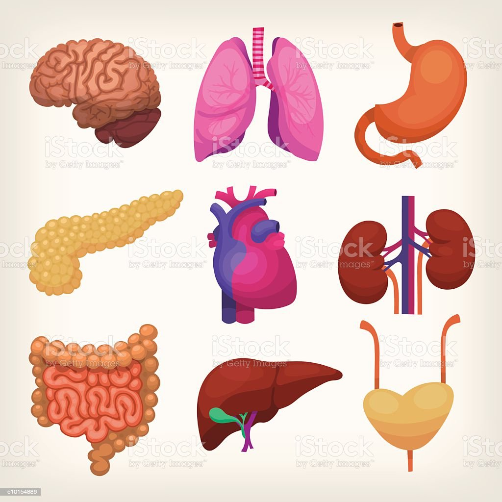 Body organs vector art illustration