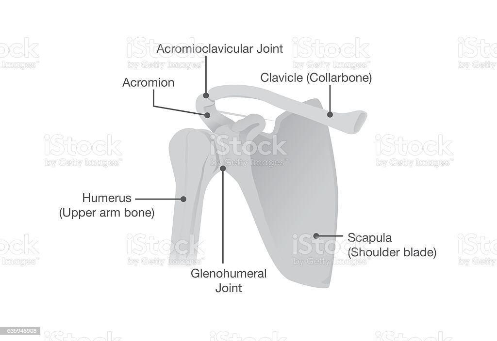 Bone and Joints of the Shoulder Anatomy. vector art illustration