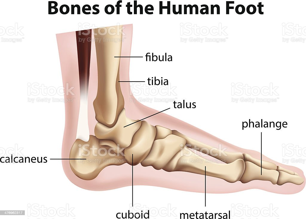 Bones of the human foot vector art illustration