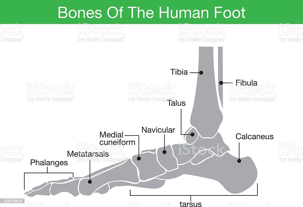 Bones of the human foot vector art illustration