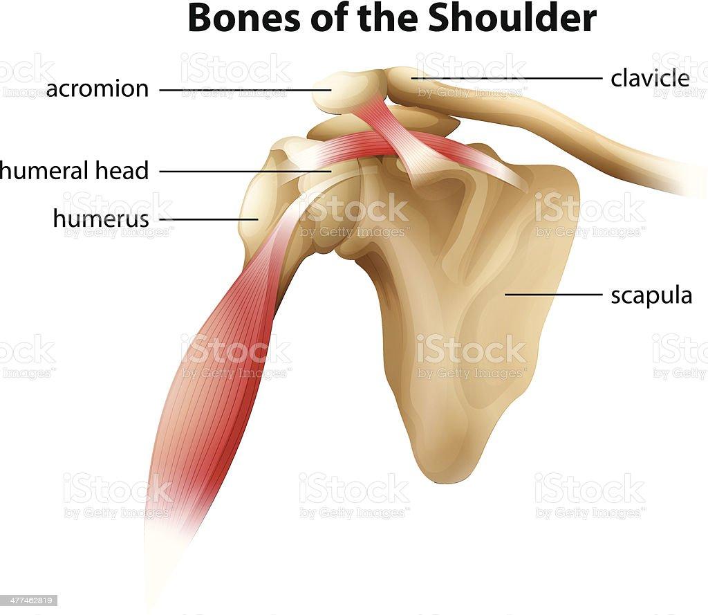 Bones of the Shoulder vector art illustration