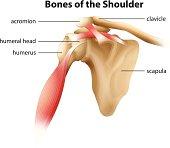 Bones of the Shoulder
