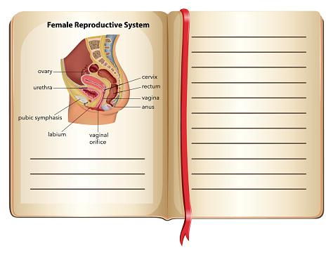 Background Of Diagram Of Female Urethra Clip Art Vector Images