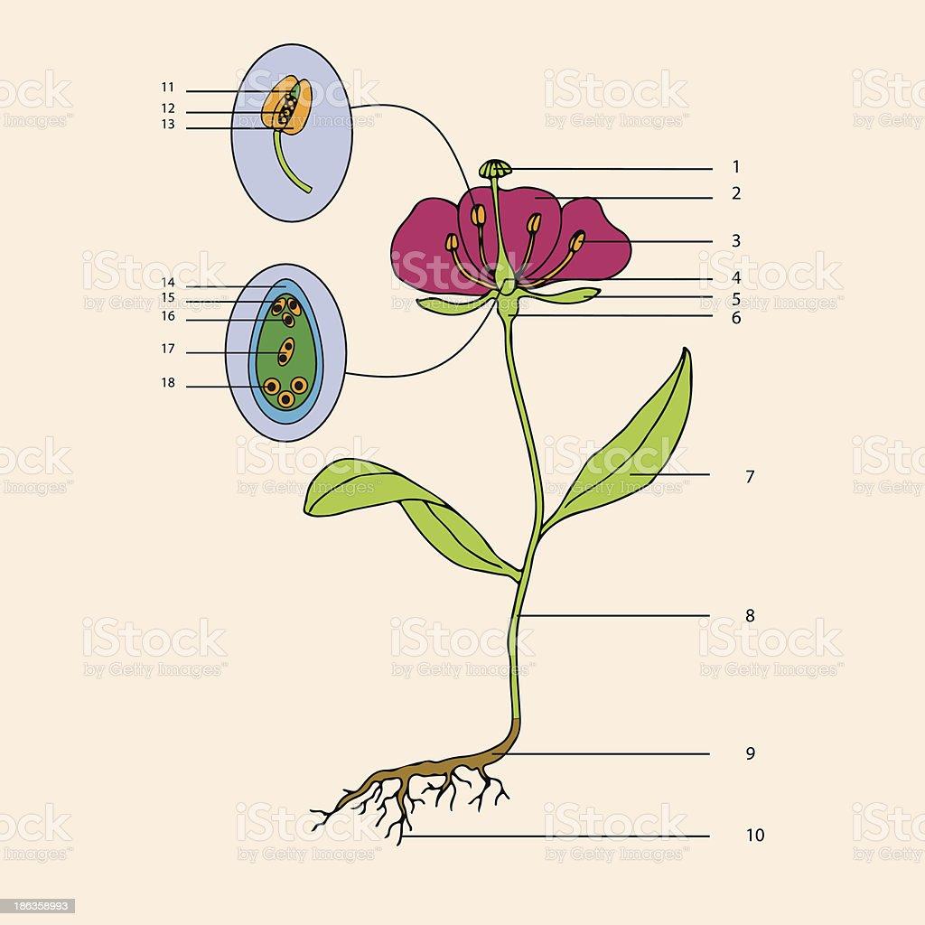 botanic, flower morphology vector art illustration
