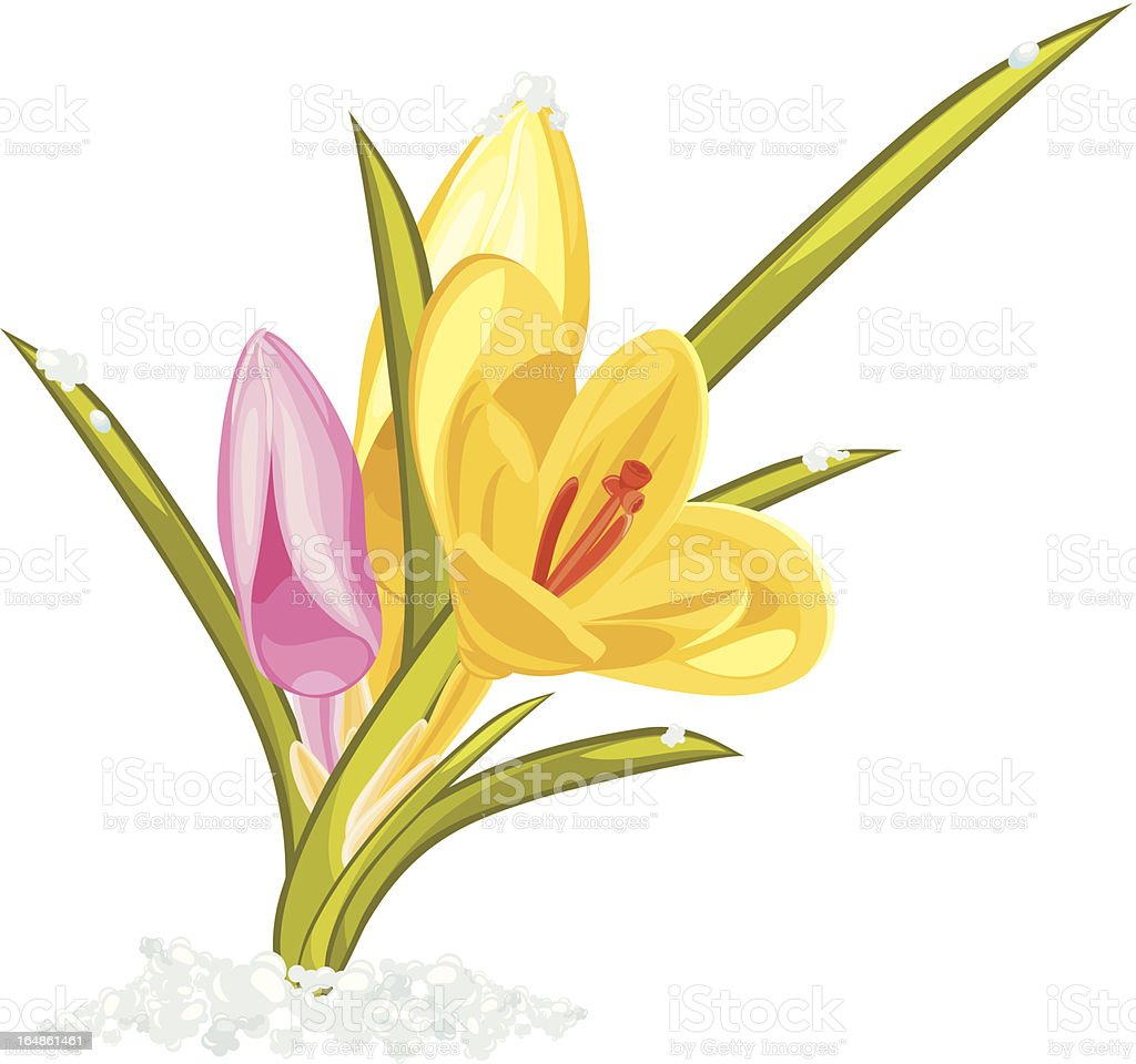 Bouquet of pink and yellow crocuses royalty-free stock vector art