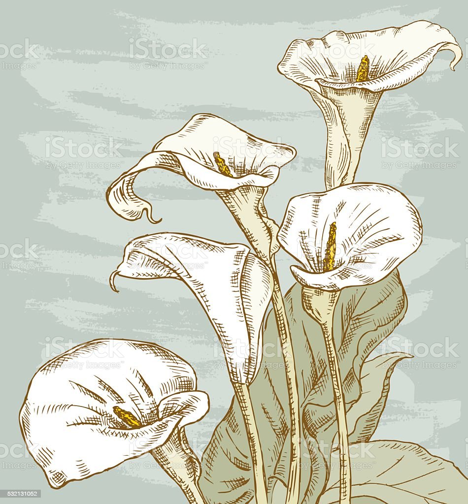 bouquet of the calla lilies vector art illustration