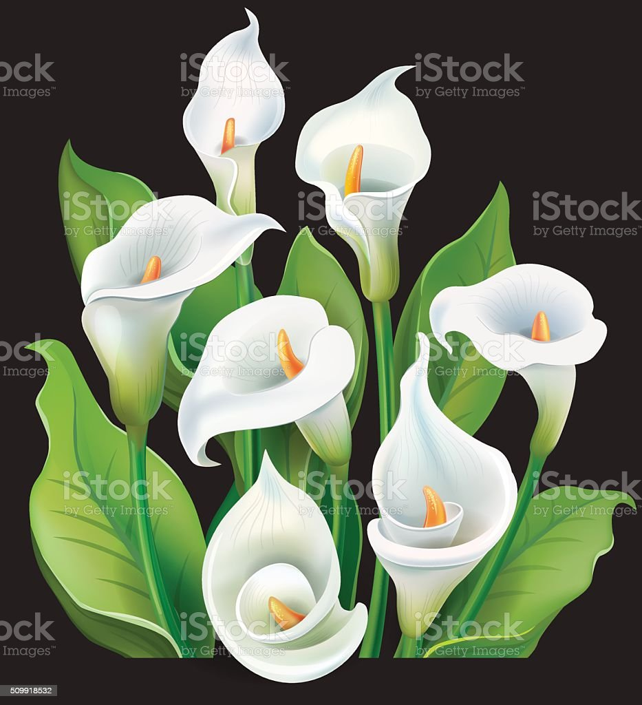 Bouquet of White Calla lilies on black background vector art illustration