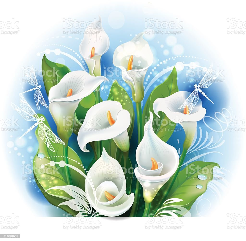 Bouquet of White Calla lilies vector art illustration