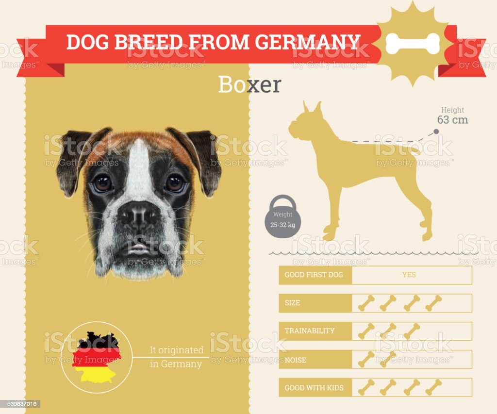 Boxer Dog breed vector infographics. vector art illustration