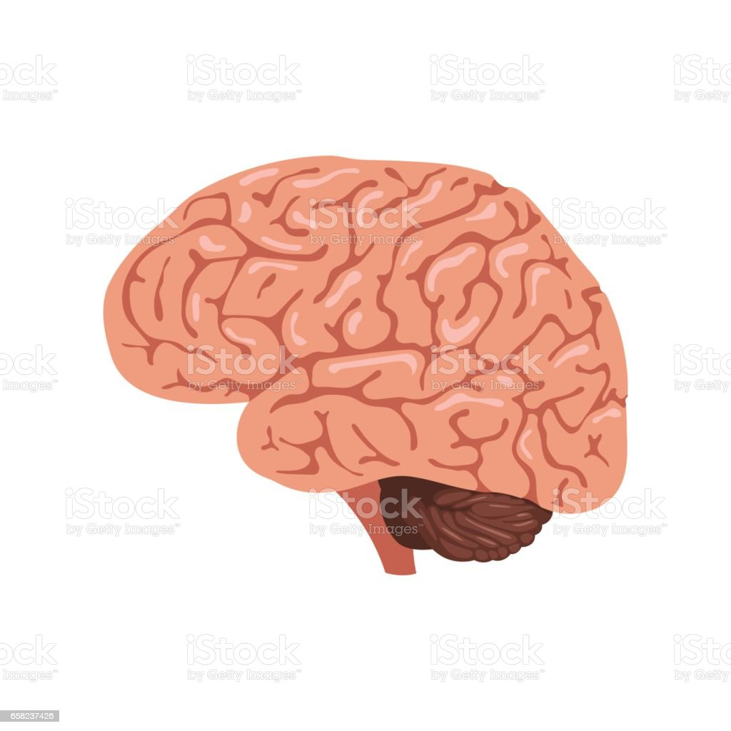Brain anatomy icon vector art illustration