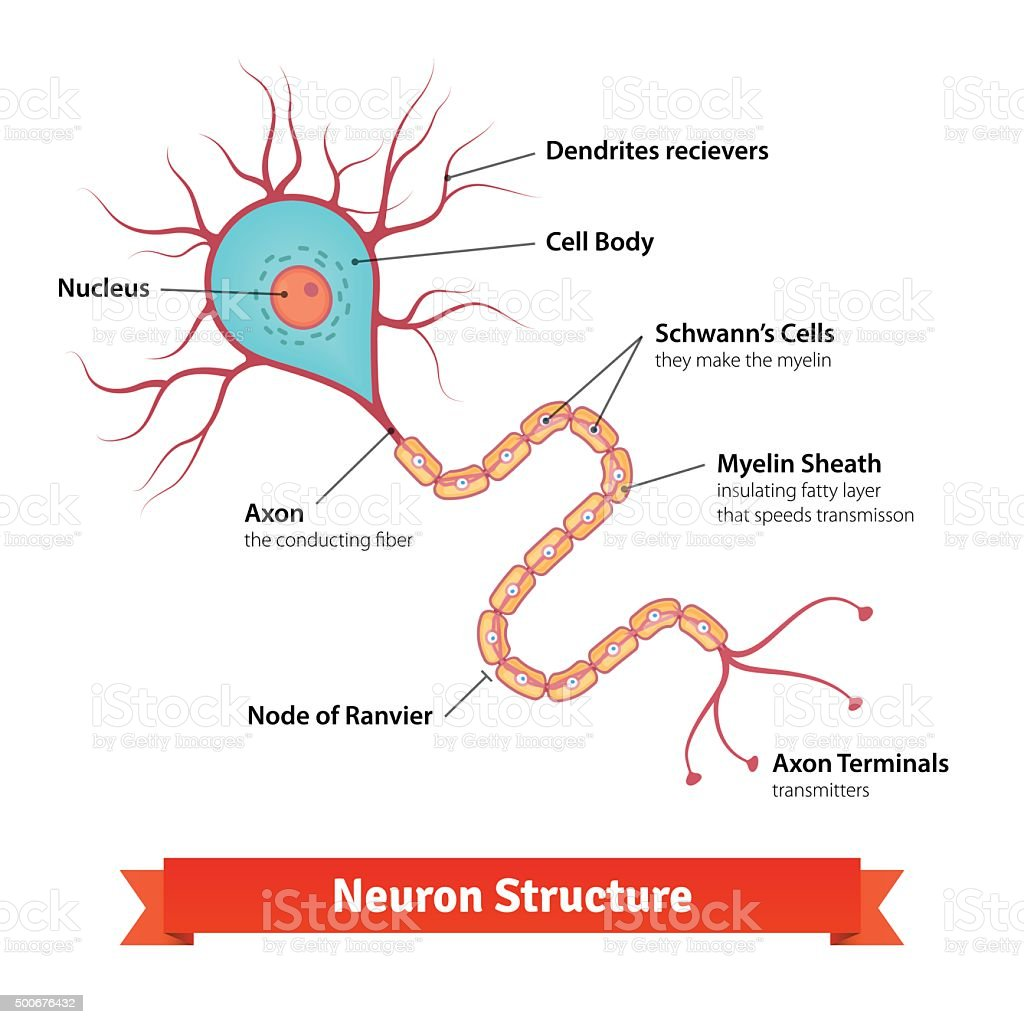 Brain neuron cell diagram vector art illustration