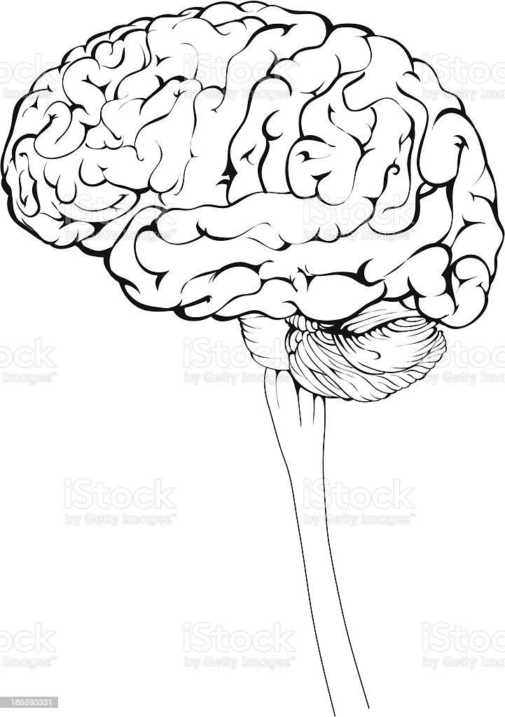 Brains royalty-free stock vector art