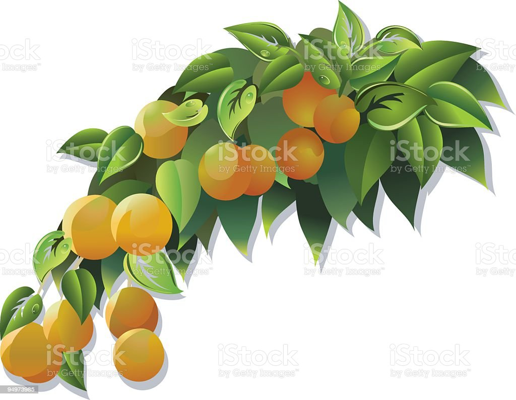 Branch from an Orange Tree with Fruit Growing On It vector art illustration