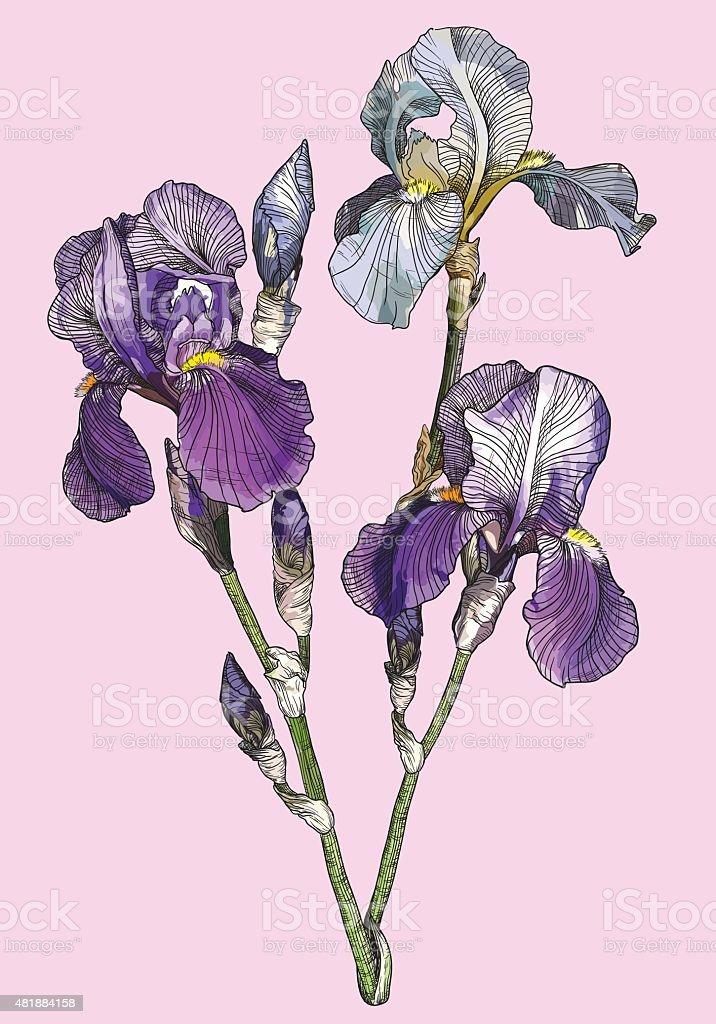 branch of blooming irises vector art illustration