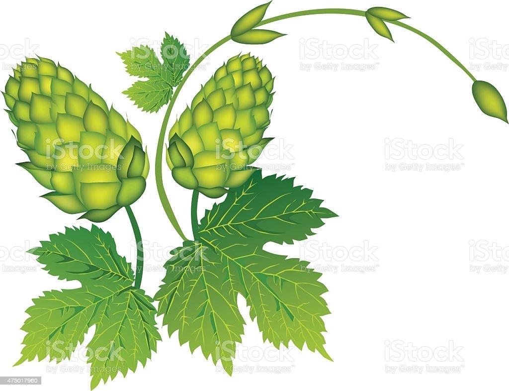Branch of hops. vector art illustration