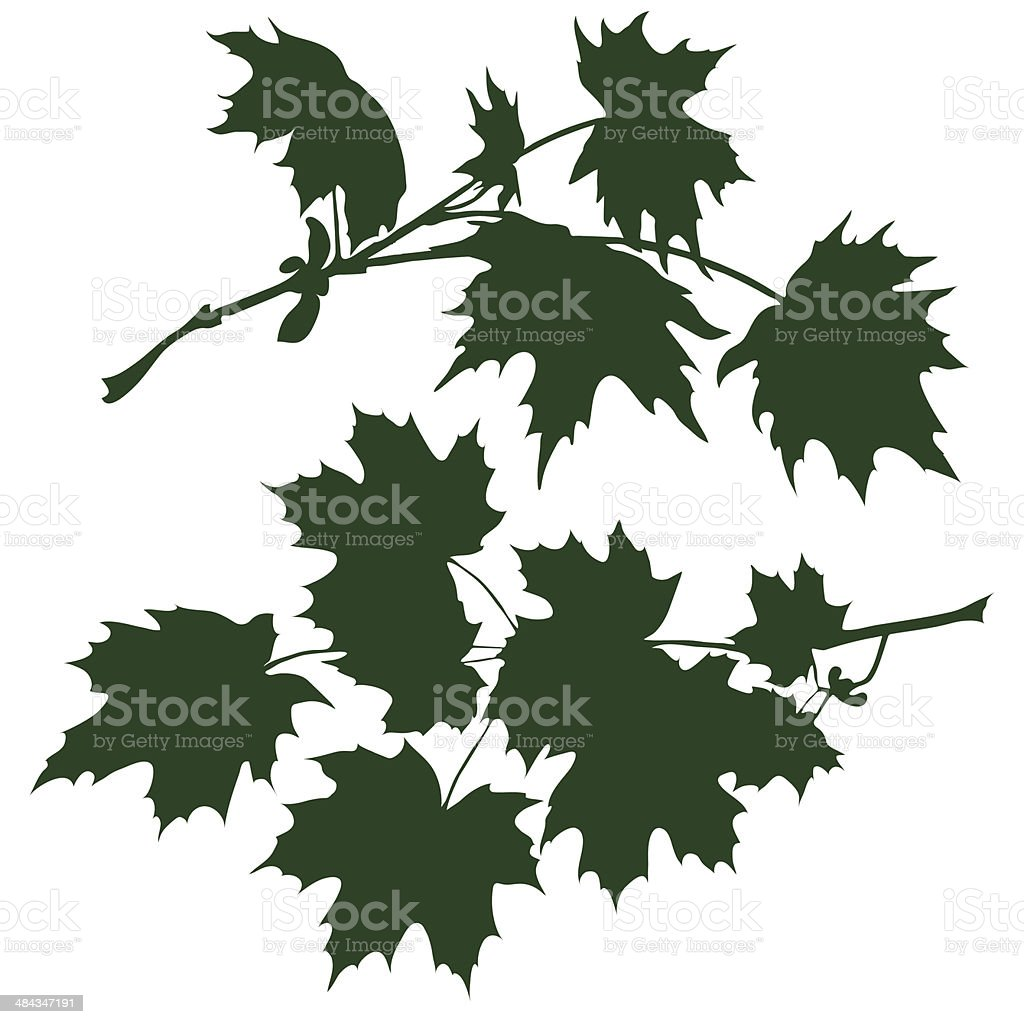 branch of maple vector art illustration