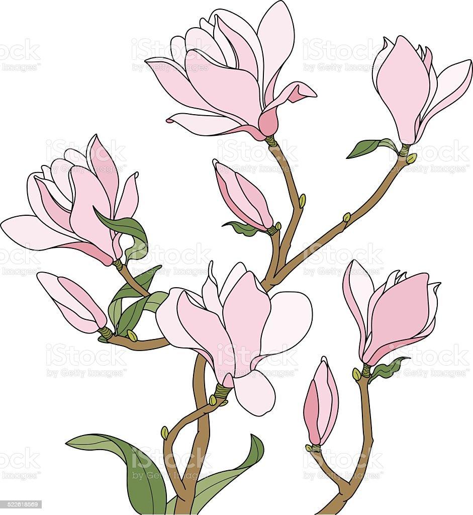 Branch of rose magnolia blossoms vector art illustration