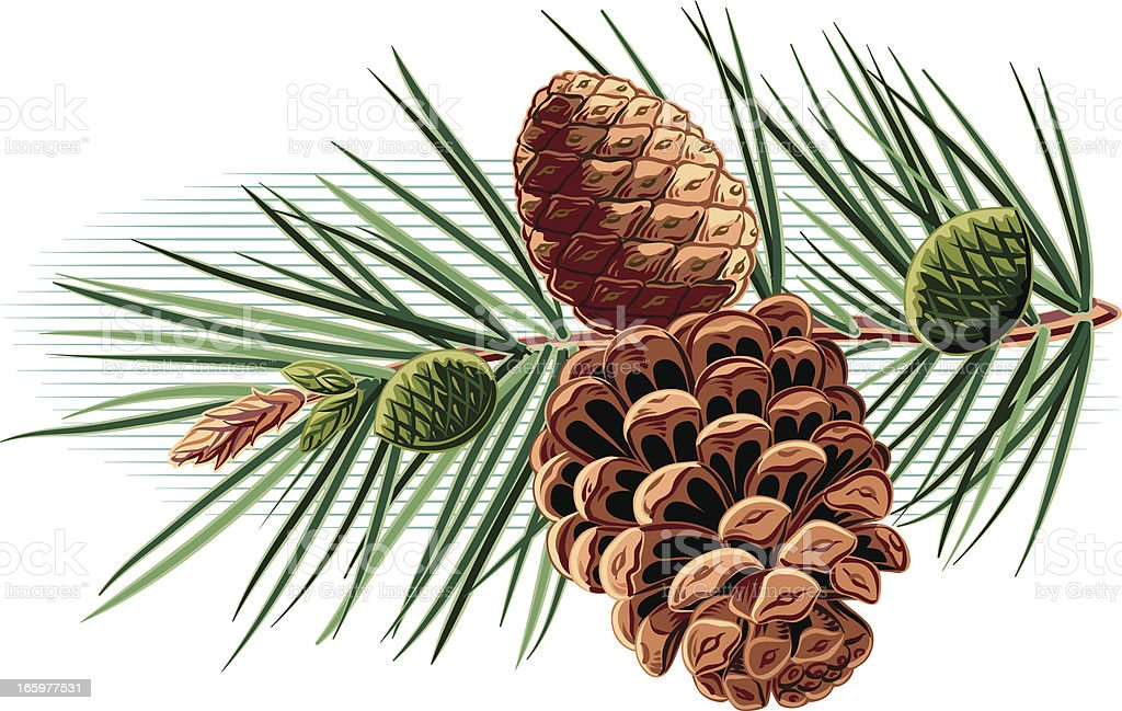 branch with pinecones royalty-free stock vector art