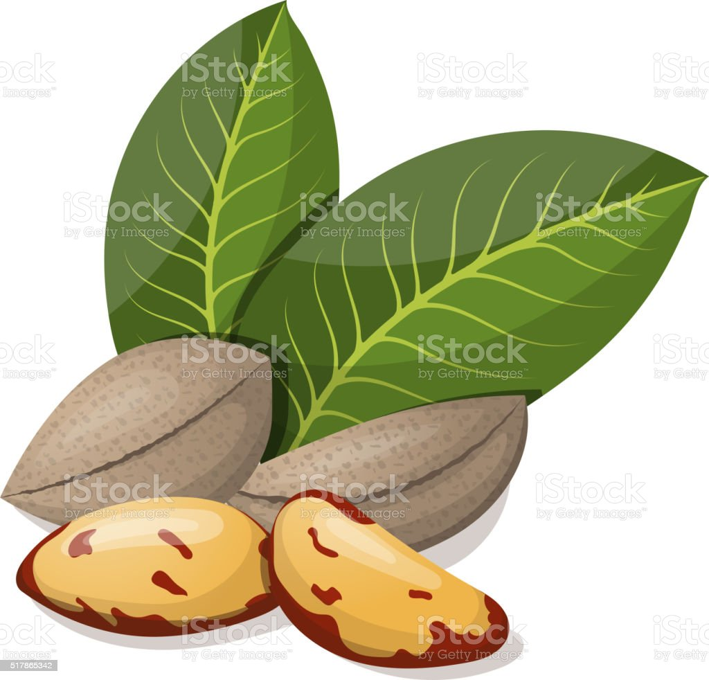 Brazil nuts with leafs isolated on white. Vector illustration. vector art illustration