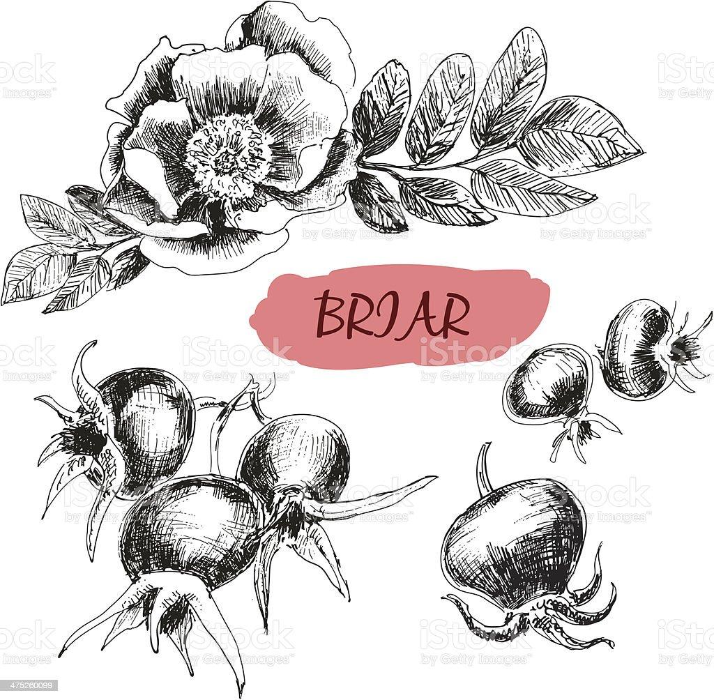 Briar. Wild rose vector art illustration