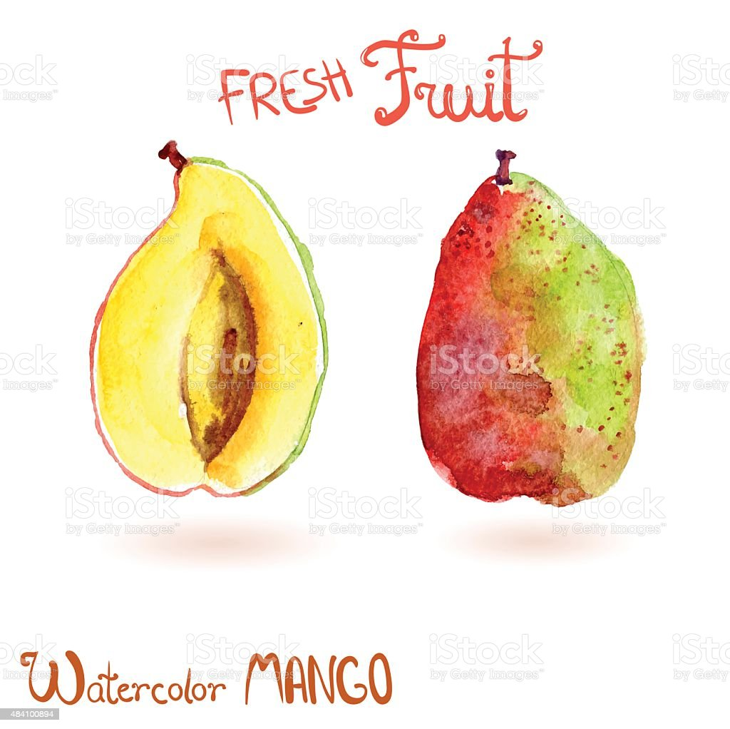 Bright vector watercolor hand drawn fruit mango vector art illustration
