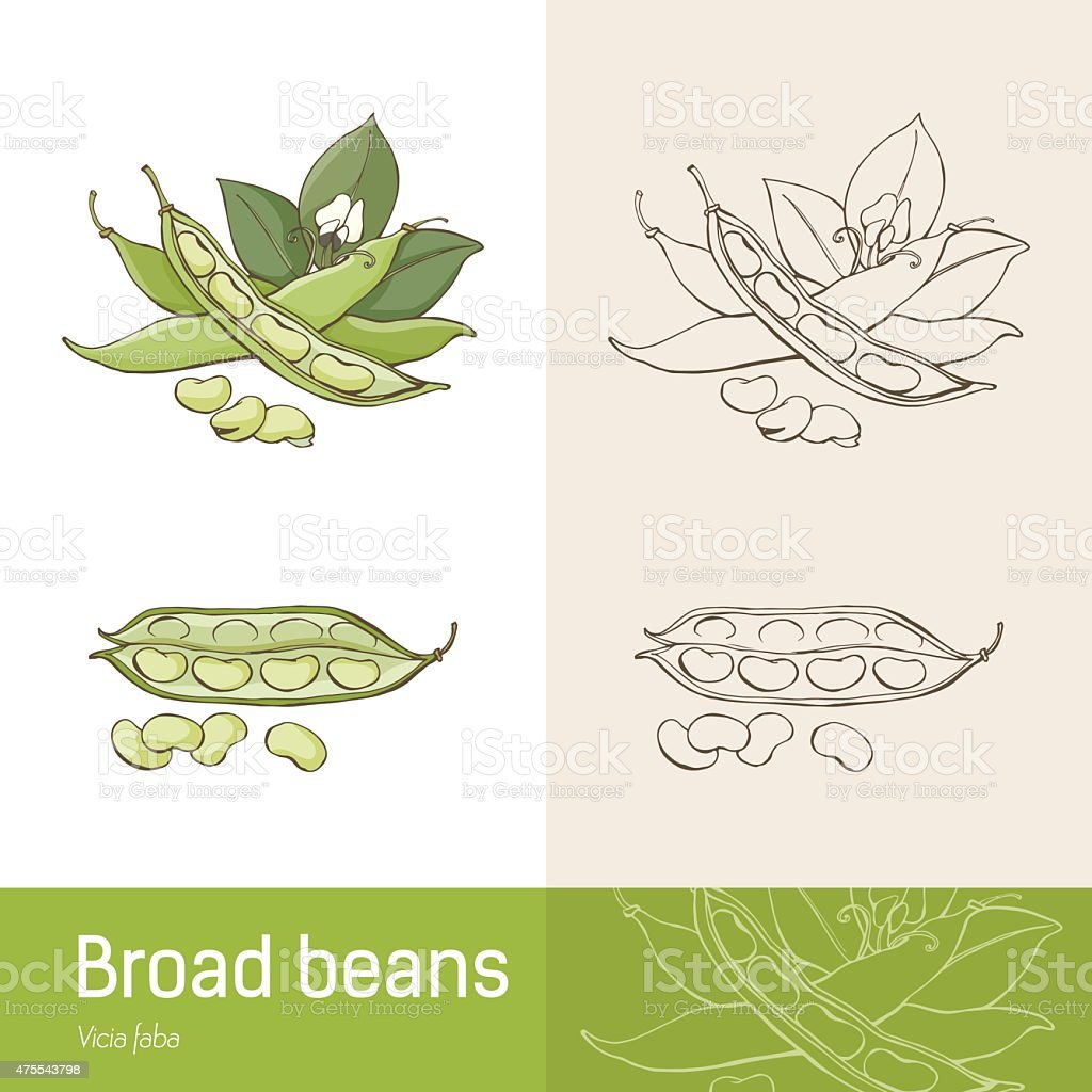 Broad beans vector art illustration