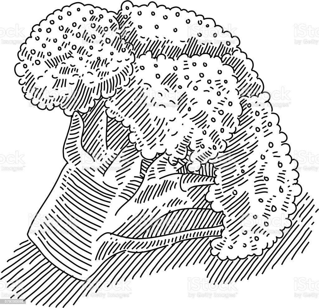 Broccoli Drawing vector art illustration