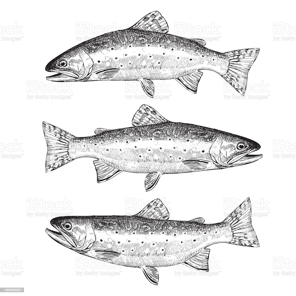 Brook Trout Illustration royalty-free stock vector art