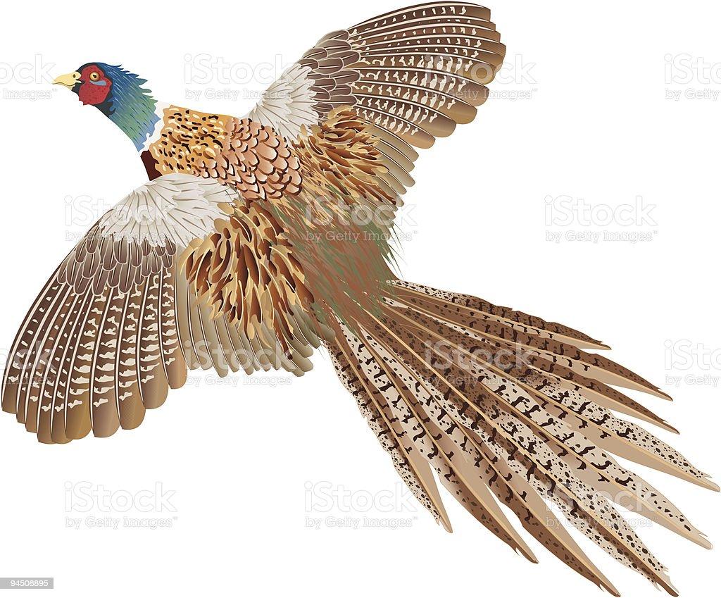 Brown flying pheasant isolated on white vector art illustration